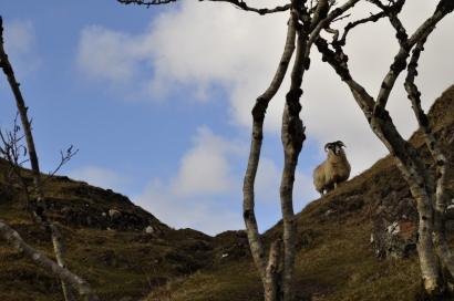 A sheep in the Fairy Glen